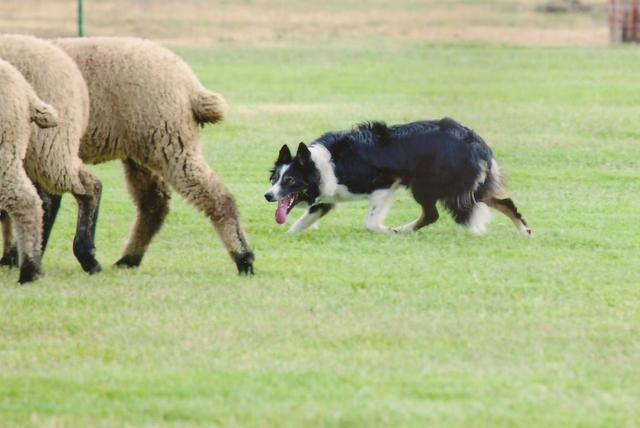 Holly working at Lambtown SHeep Dog Trial in Dixon