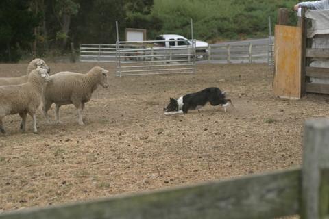 Holly facing some tough sheep at Bodega Bay