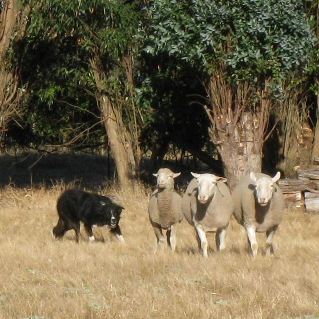 Craig practices with Bonny Doone sheep