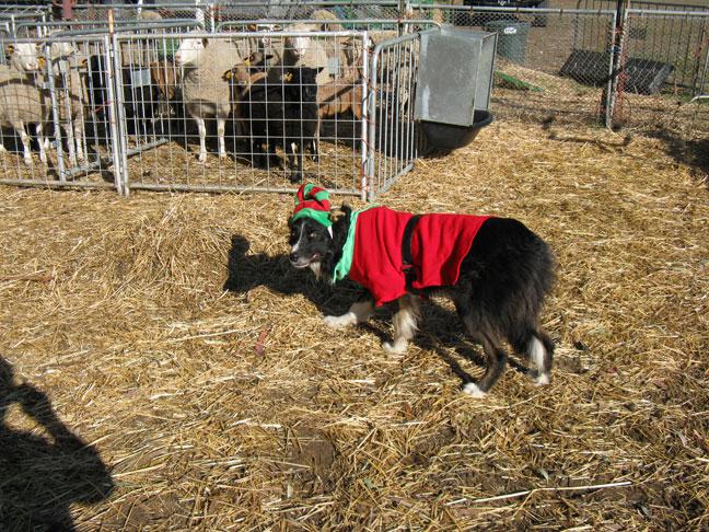 Craig, the Christmas Elf guarding the sheep