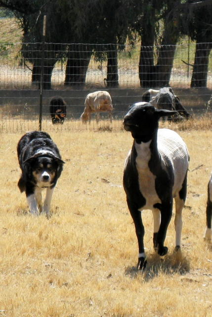 Roy working Bonny Doone Sheep