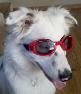 Bella in her Doggles